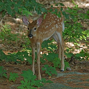 Young Deer and Mother, Rather Than Black Bear of Last Week