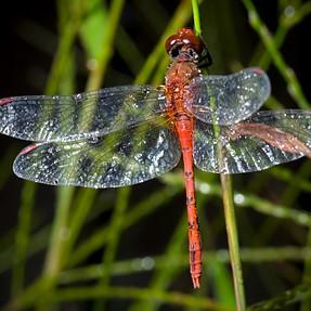 Dragonfly shots