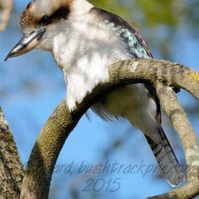 Kookaburra, GX7, 100-300