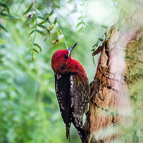 Red-headed Sapsucker