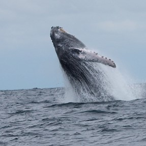 Male Humpback breeching