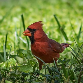 Jungle Cardinal captured with A7 and 300mm lens