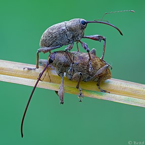 M10 60MM macro weevils and possible shutter shock.
