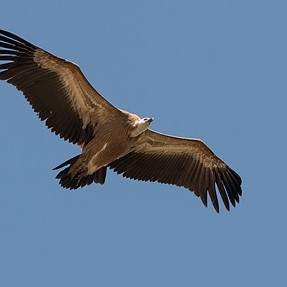 Eurasia Griffon Vulture,taken on holiday in Spain