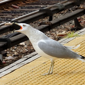 Seagull at the train station