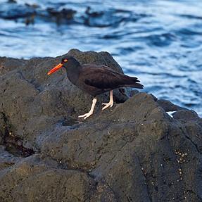 Fort Bragg, Ca: a few birds