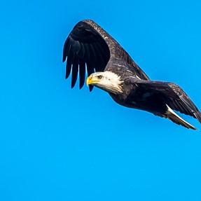 Bald Eagles in Flight, 500mm 4.0 w/1.4 TC