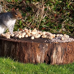 squirrel and the starling