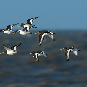Some shore birds in the UK, near Liverpool