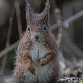 A77II+ 70-400G Red Squirrel at Formby UK ISO 800- 3200