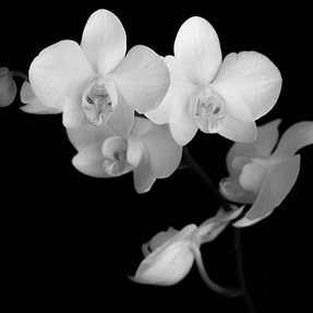 Orchid Still Life- (k5iis + 55-300mm for those gear curious)