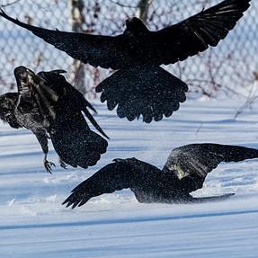 Ravens Unkindness
