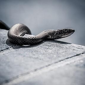 C&C black snake