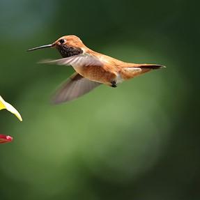 Allen Humming Bird... I think