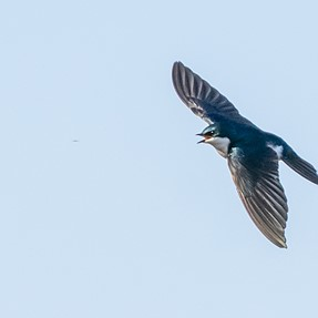 Tree swallows and some others