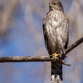 Cooper's Hawk stare down