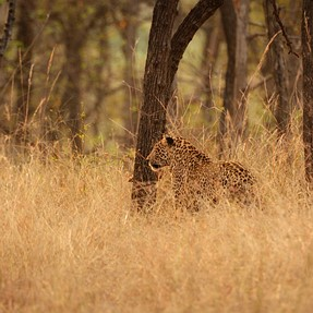 Wild Indian leopards with a D7100: impressed with high ISO performance