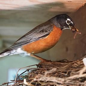 E-M1, 12-40 robin feeding video via wifi,