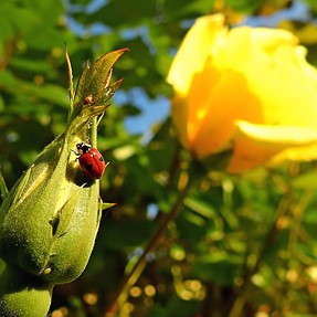 P900 - Ladybug ready to attack an aphid