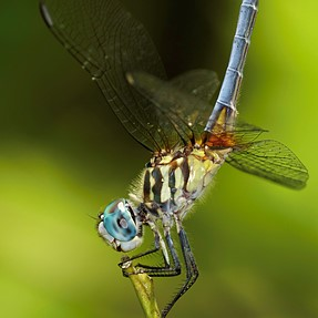 Post your best Dragonfly photo here:
