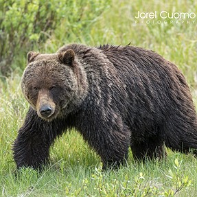 Grizzly Bear - Rocky Mountains, Alberta, Canada