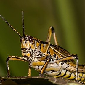 The Southern Lubber Grasshopper