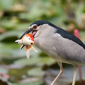 Night Heron's dinner