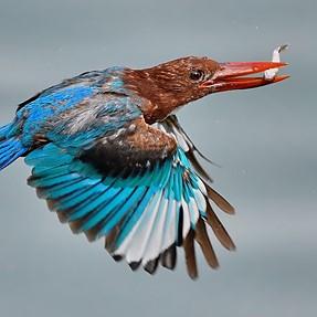 Kingfisher in flight ...