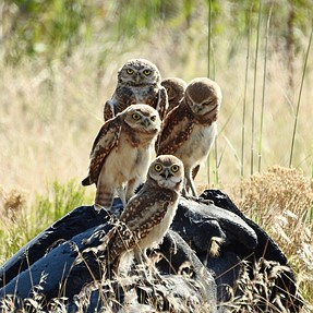 Burrowing Owl Family - Antelope Island, Utah