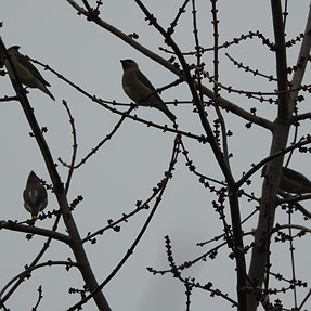 First sighting of Waxwings with P900