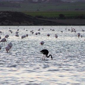 A photo from Larnaca Salt Lake. A rare black Flamingo spotted.....