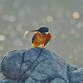 Common Kingfisher: Request comments
