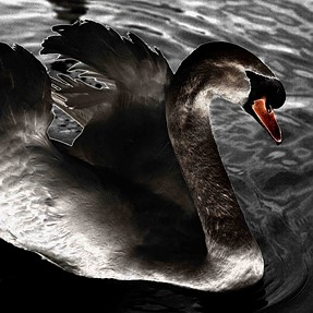 Swan on the Shannon at night