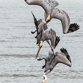 C&C Pelicans in a terminal dive