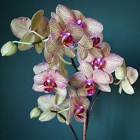 Orchid taken using post focus
