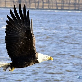 Bald Eagles with D750 and 24-120 f/4