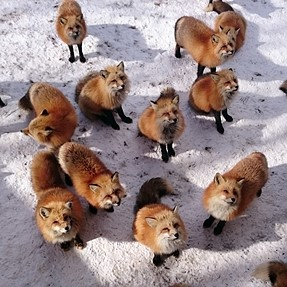 Begging foxes