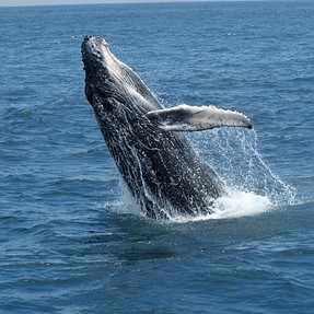 Humpback Whales in Ecuador