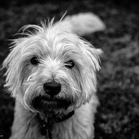 Wee Dog in B&W