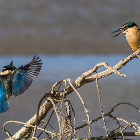 Kingfisher, one perch, a lot going on. E-M10, 500mm