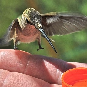 Hand-feeding Hummingbirds