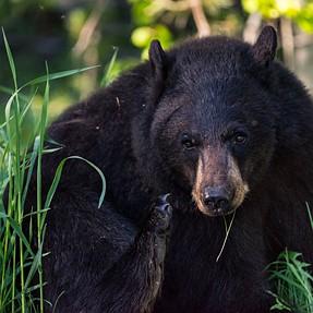 Grand Teton Black Bear