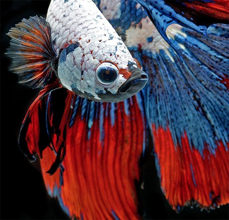 Striking portraits of Siamese fighting fish